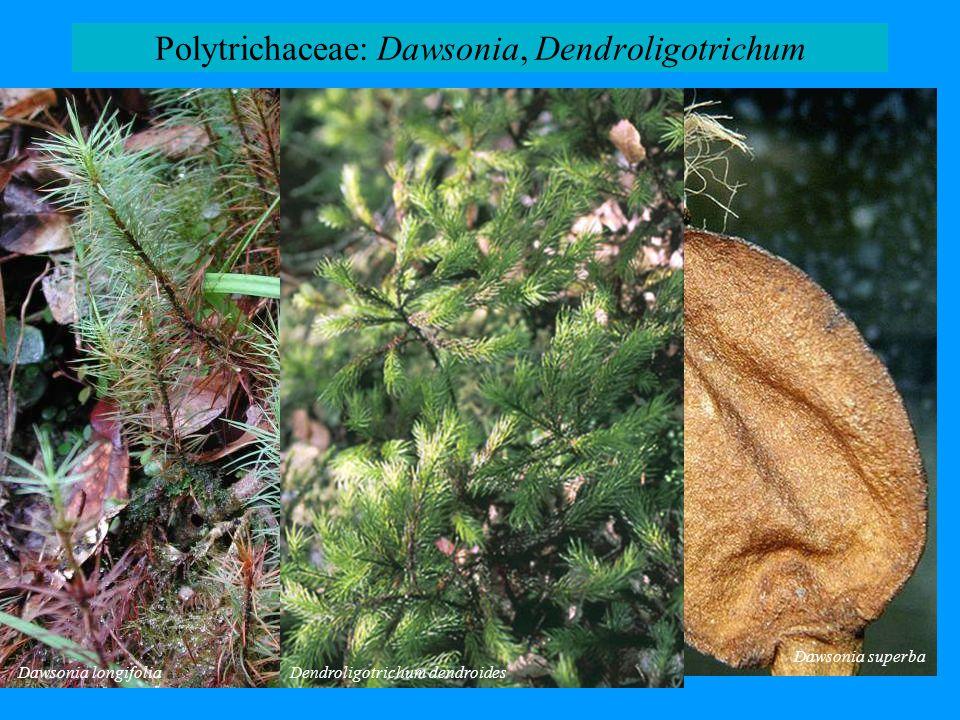 Polytrichaceae: Dawsonia, Dendroligotrichum Dawsonia longifolia Dawsonia superba Dendroligotrichum dendroides