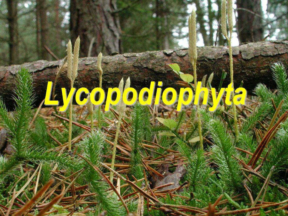 Lycopodiophyta  samostatná vývojová linie navazující na jednu ze skupin rhyniových rostlin (Zosterophyllophyta)  starobylá skupina počátky ve spodním devonu (410-390), hlavní rozvoj v karbonu (360-285) stromovité končí v permu (285-245), v druhohorách křovité, recentně jen ± bylinné  dnes tvoří zlomek procenta recentních cévnatých rostlin  recentně hlavní rozšíření tropy
