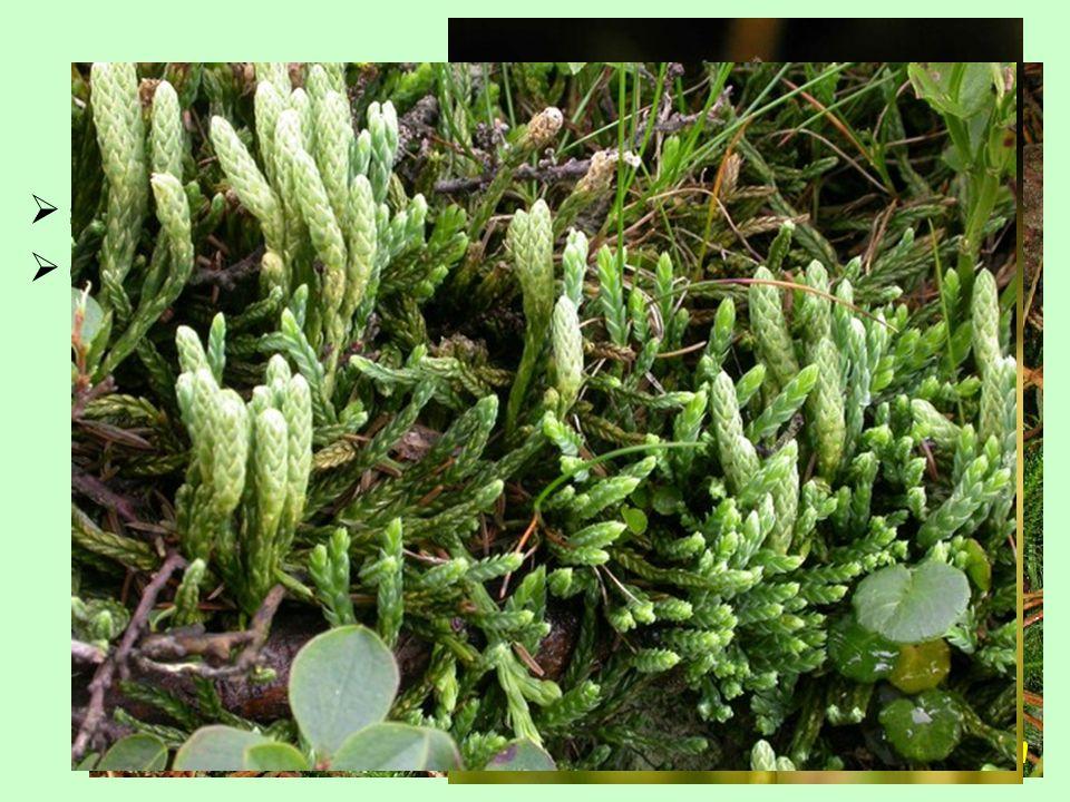 (1-)7/100, převážně tropy Lycopodiaceae  sporofyly obvykle nezelené, ve zřetelných strobilech Lycopodium clavatum