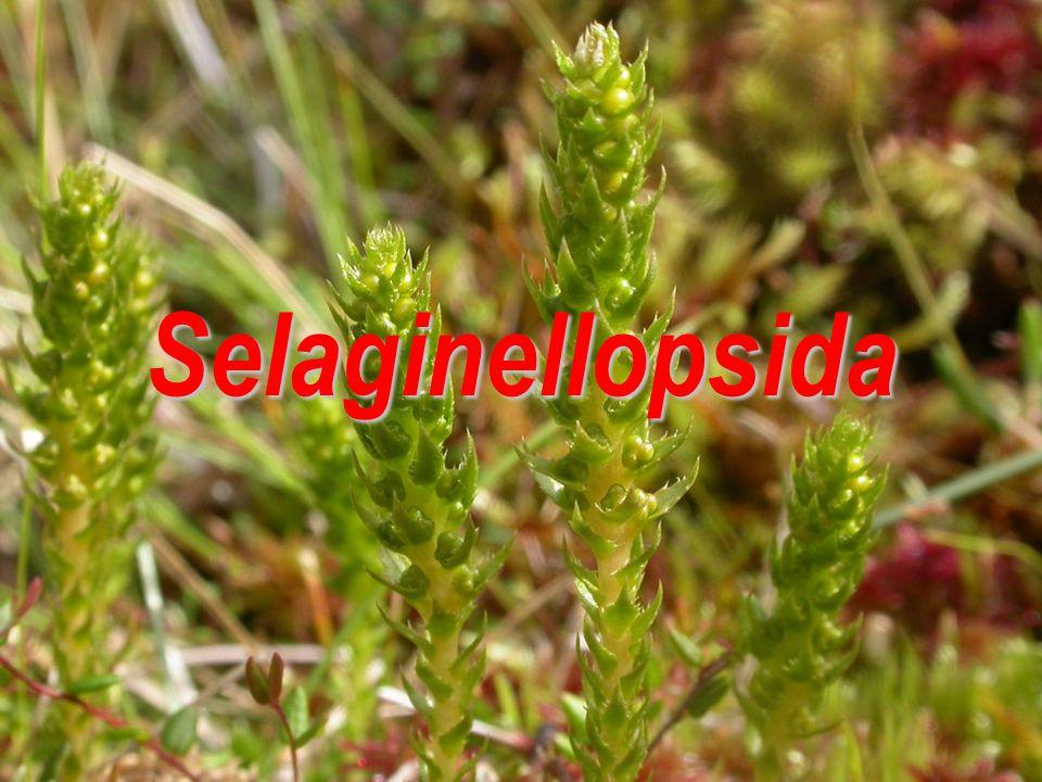 Selaginellopsida