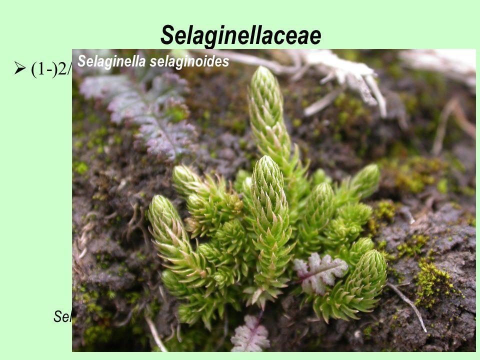 Selaginellaceae Selaginella lepidophylla  (1-)2/700, převážně horské oblasti tropů a subtropů Selaginella selaginoides