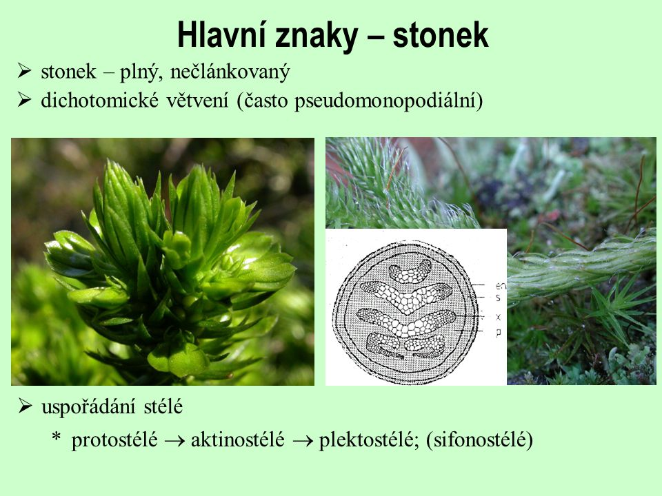 Hlavní znaky – stonek  stonek – plný, nečlánkovaný  dichotomické větvení (často pseudomonopodiální)  uspořádání stélé *protostélé  aktinostélé  p