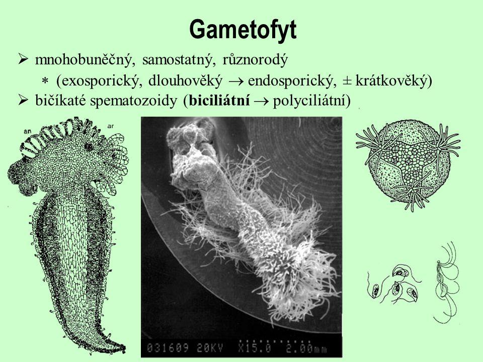 Gametofyt  mnohobuněčný, samostatný, různorodý  (exosporický, dlouhověký  endosporický, ± krátkověký)  bičíkaté spematozoidy (biciliátní  polycil