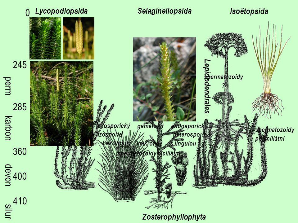 silur devon 410 400 360 285 245 0 perm karbon Zosterophyllophyta Selaginellopsida Isoëtopsida Lycopodiopsida spermatozoidy biciliátní mikrofyly bez li
