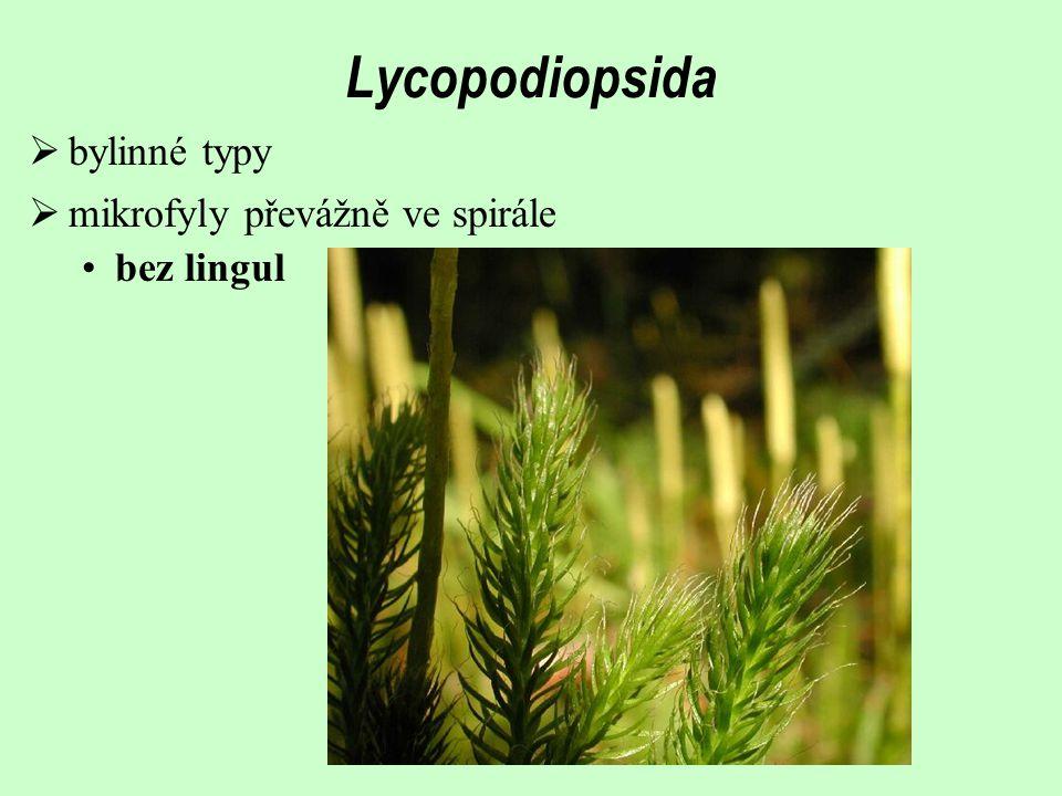 Lycopodiopsida  bylinné typy  mikrofyly převážně ve spirále bez lingul
