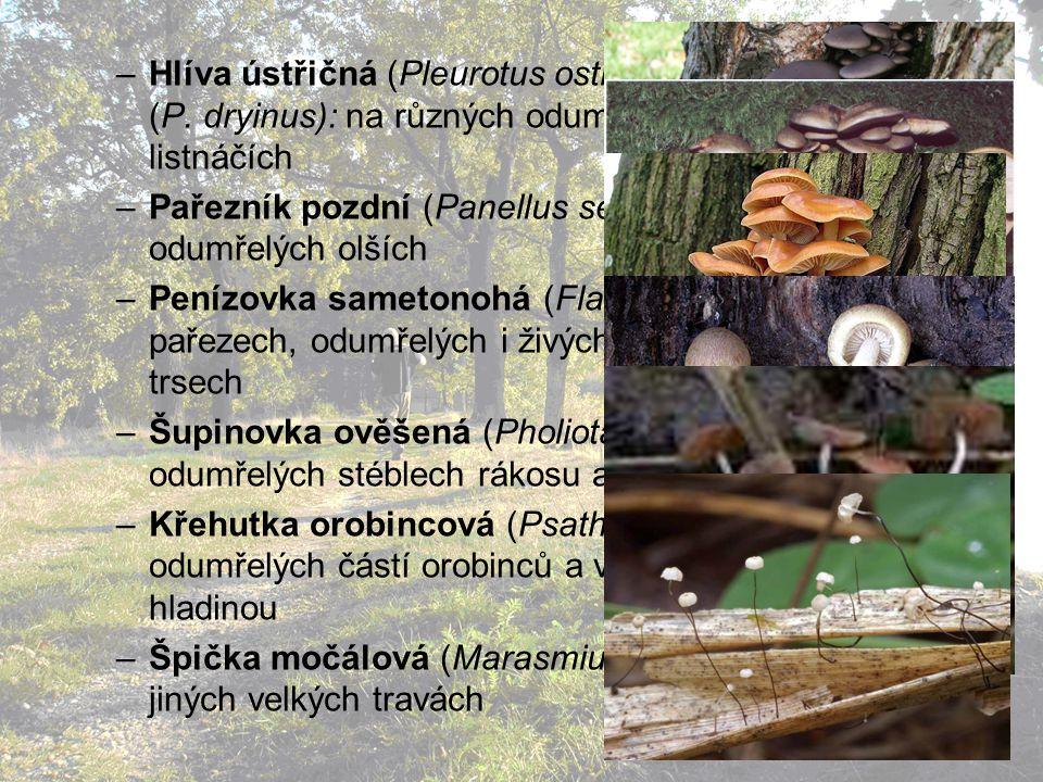 –Hlíva ústřičná (Pleurotus ostreatus), Hlíva dubová (P.