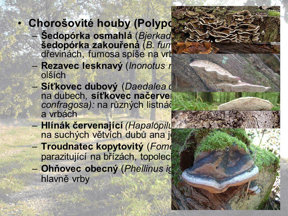 Chorošovité houby (Polyporales): –Šedopórka osmahlá (Bjerkadera adusta), šedopórka zakouřená (B.