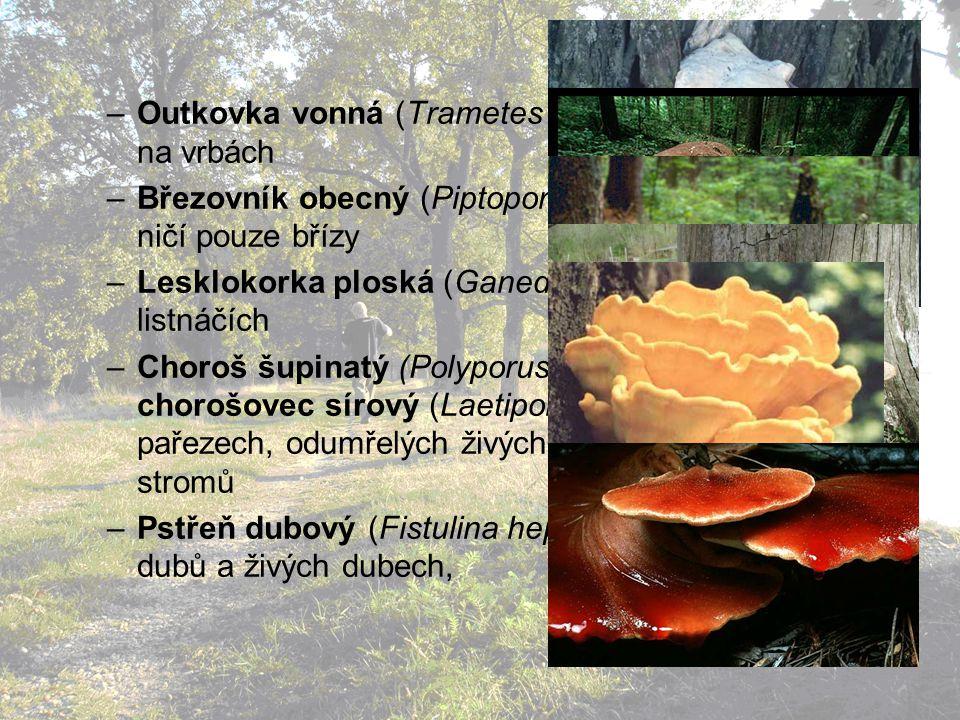 –Outkovka vonná (Trametes suaveolens): především na vrbách –Březovník obecný (Piptoporus betulinus): napadá a ničí pouze břízy –Lesklokorka ploská (Ganederma lipsiense): na listnáčích –Choroš šupinatý (Polyporus squamosus), chorošovec sírový (Laetiporus sulphureus): na pařezech, odumřelých živých kmenech listnatch stromů –Pstřeň dubový (Fistulina hepatica): na pařezech dubů a živých dubech,