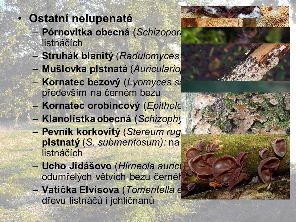 Ostatní nelupenaté –Pórnovitka obecná (Schizopora radula): na listnáčích –Struhák blanitý (Radulomyces molaris): na listnáčích –Mušlovka plstnatá (Auriculariopsis ampla) –Kornatec bezový (Lyomyces sambuci): na listnáčích, především na černém bezu –Kornatec orobincový (Epithele typhae): v orobinci –Klanolístka obecná (Schizophyllum commune): –Pevník korkovitý (Stereum rugosum), pevník plstnatý (S.