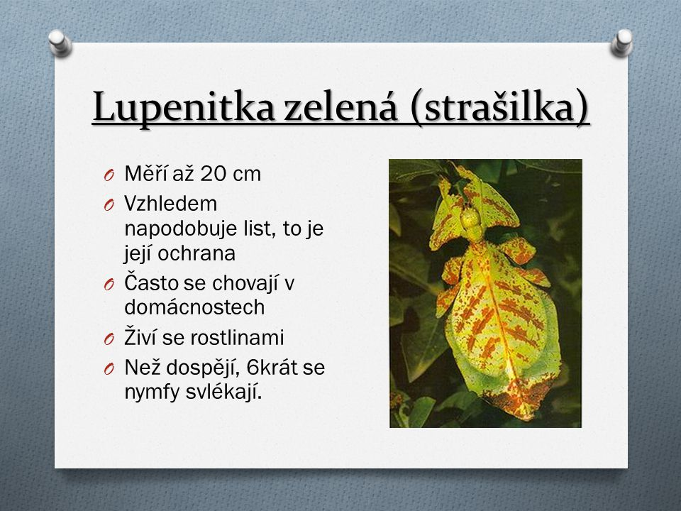 Lupenitka zelená (strašilka) O Měří až 20 cm O Vzhledem napodobuje list, to je její ochrana O Často se chovají v domácnostech O Živí se rostlinami O N