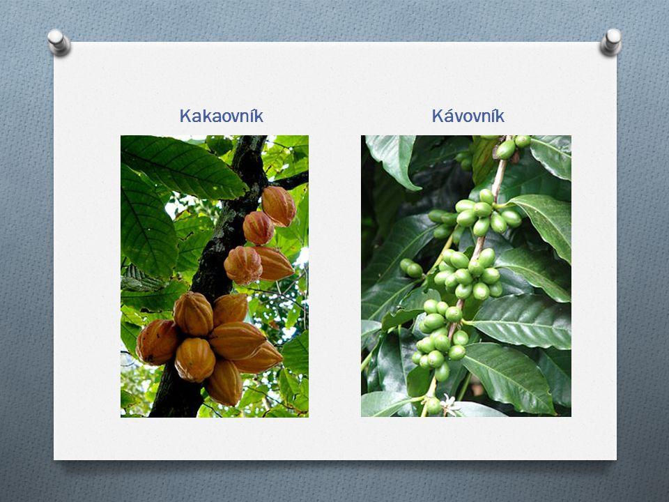 Kakaovník Kávovník
