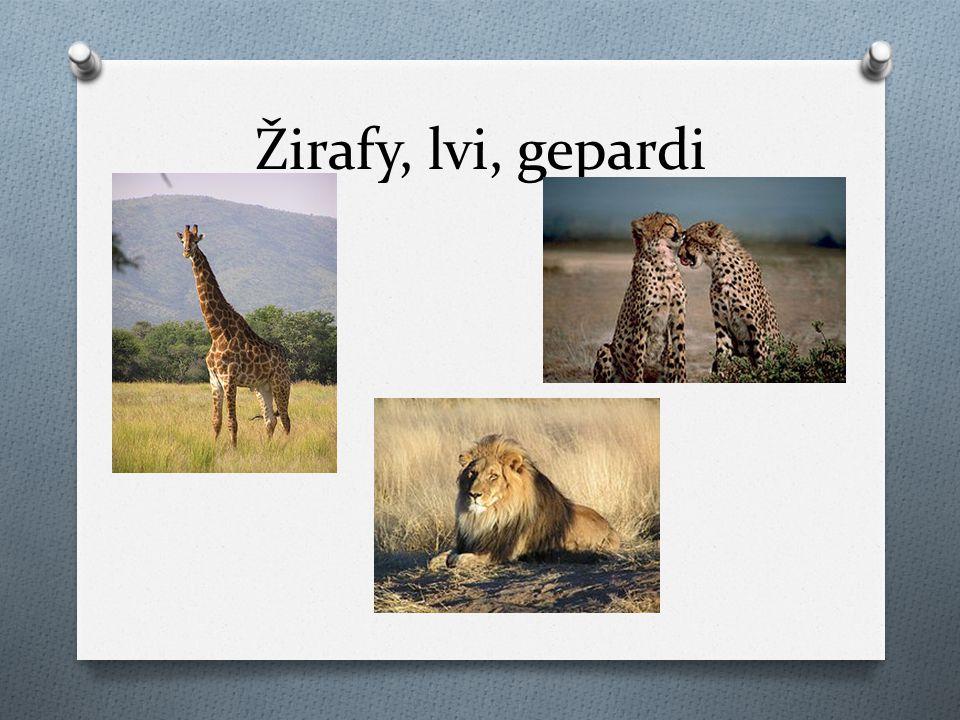 Žirafy, lvi, gepardi