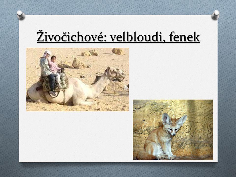 Živočichové: velbloudi, fenek