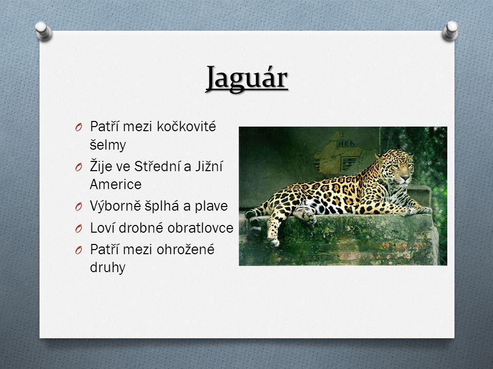 Jaguár O Patří mezi kočkovité šelmy O Žije ve Střední a Jižní Americe O Výborně šplhá a plave O Loví drobné obratlovce O Patří mezi ohrožené druhy