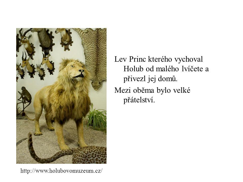 Lev Princ kterého vychoval Holub od malého lvíčete a přivezl jej domů.