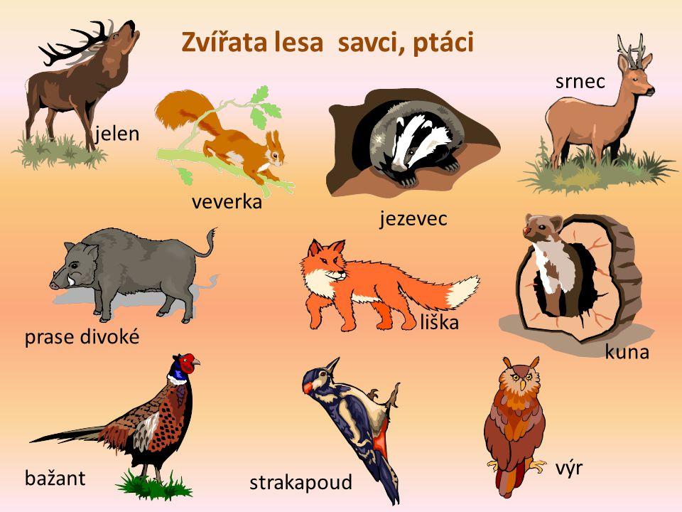 Zvířata lesa savci, ptáci jelen veverka jezevec srnec prase divoké liška kuna bažant strakapoud výr