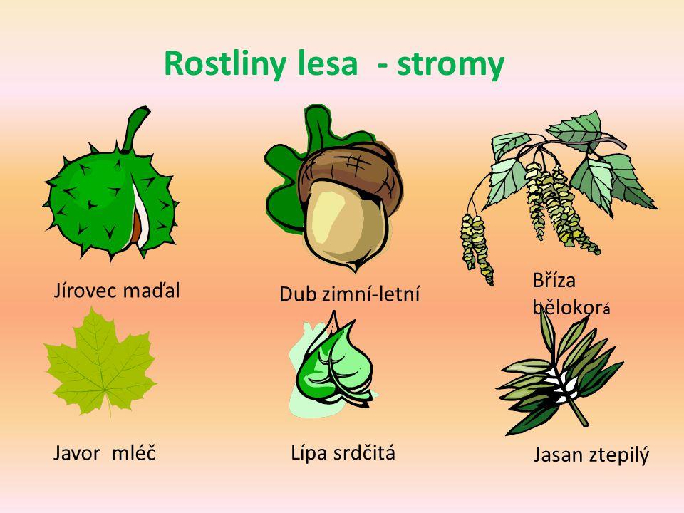 Rostliny lesa - stromy Jírovec maďal Dub zimní-letní Bříza bělokor á Javor mléč Lípa srdčitá Jasan ztepilý