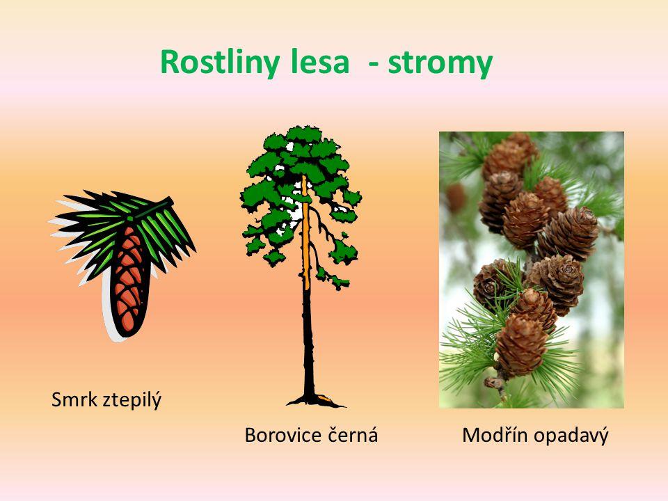 Rostliny lesa - stromy Smrk ztepilý Borovice černáModřín opadavý