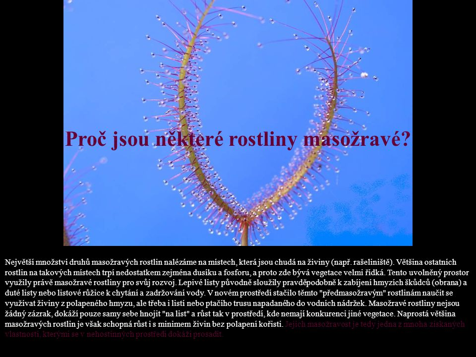Pěstování masožravých rostlin: Maximum světla, zejména pak v zimním období. Rostliny se na plném slunci velmi dobře vybarvují a pasti jsou dobře vyvin