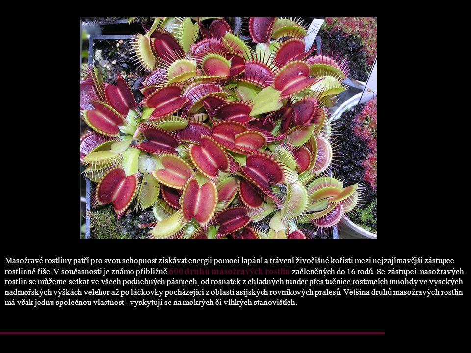 Masožravé rostliny patří pro svou schopnost získávat energii pomocí lapání a trávení živočišné kořisti mezi nejzajímavější zástupce rostlinné říše.