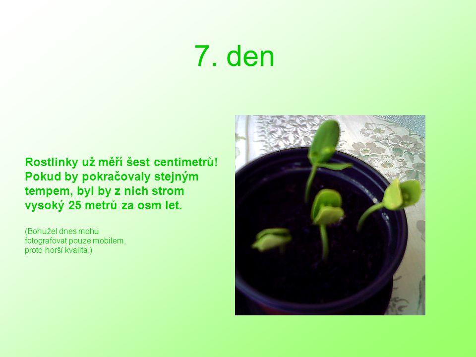 7. den Rostlinky už měří šest centimetrů.