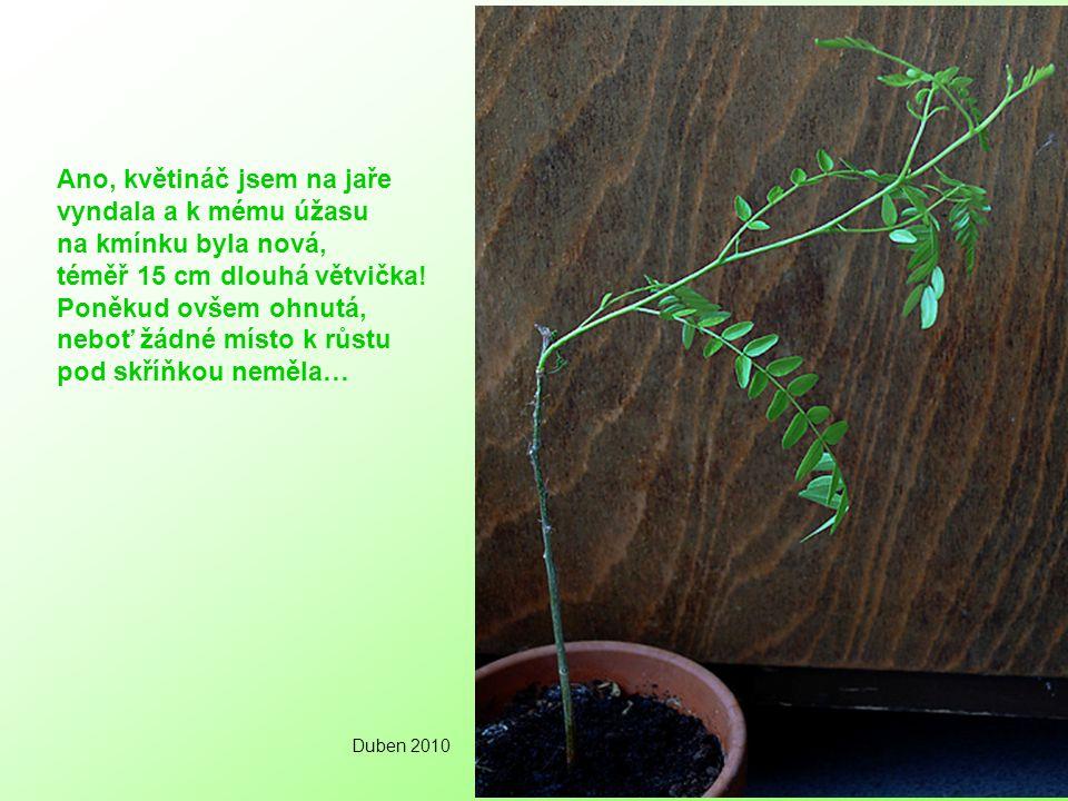 Ano, květináč jsem na jaře vyndala a k mému úžasu na kmínku byla nová, téměř 15 cm dlouhá větvička.