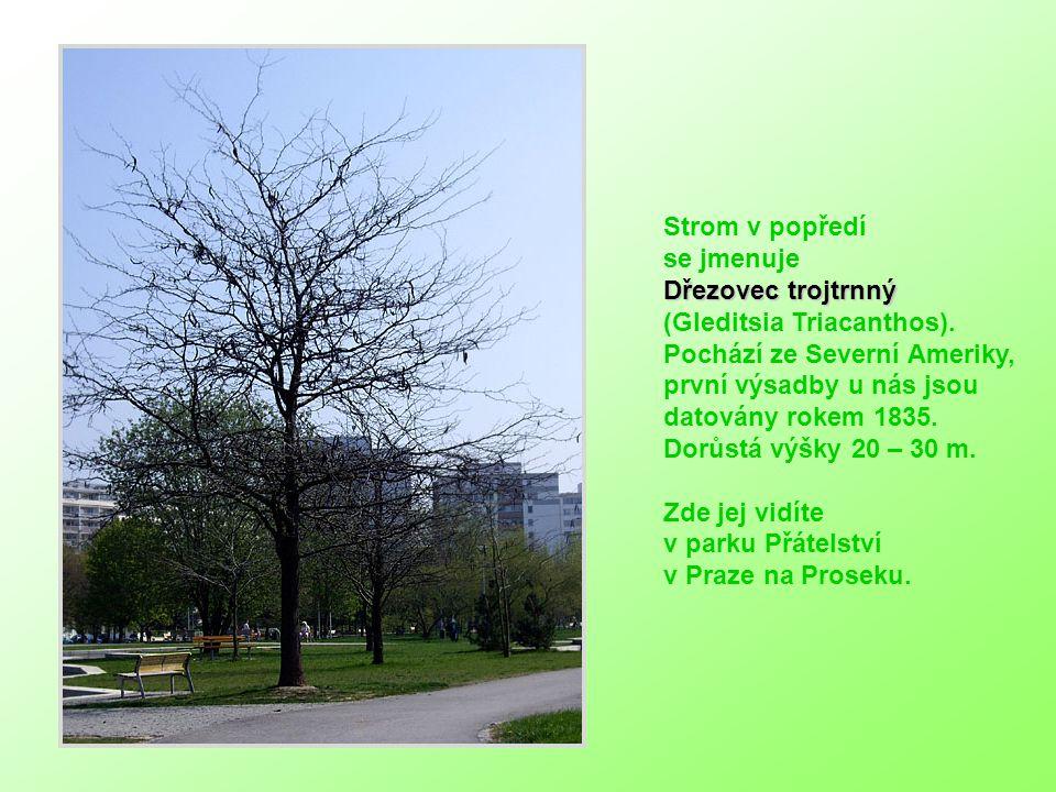 Strom v popředí se jmenuje Dřezovec trojtrnný (Gleditsia Triacanthos).