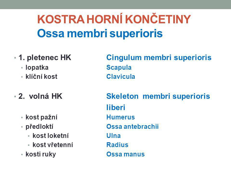 KOSTRA HORNÍ KONČETINY Ossa membri superioris 1. pletenec HKCingulum membri superioris lopatka Scapula klíční kost Clavicula 2. volná HKSkeleton membr