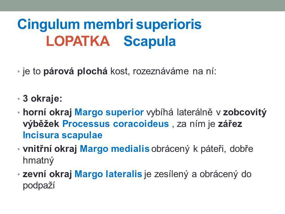 Cingulum membri superioris LOPATKA Scapula je to párová plochá kost, rozeznáváme na ní: 3 okraje: horní okraj Margo superior vybíhá laterálně v zobcov