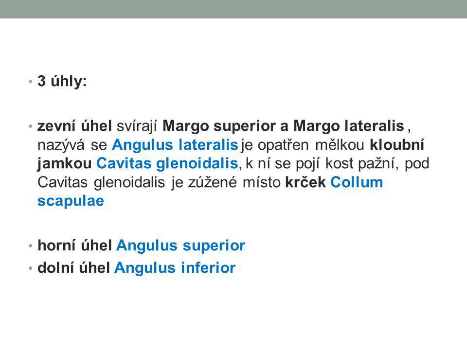 3 úhly: zevní úhel svírají Margo superior a Margo lateralis, nazývá se Angulus lateralis je opatřen mělkou kloubní jamkou Cavitas glenoidalis, k ní se