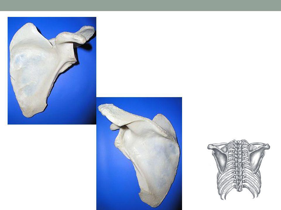KLÍČNÍ KOST Clavicula dlouhá, párová kost skládá se z: těla Corpus claviculae 2 konců: Extremitas sternalis jde o připojení k hrudní kosti, na konci je ploška Facies articularis sternalis Extremitas acromialis ukončená kloubní ploškou Facies articularis acromialis, pro připojení kosti klíční k lopatce