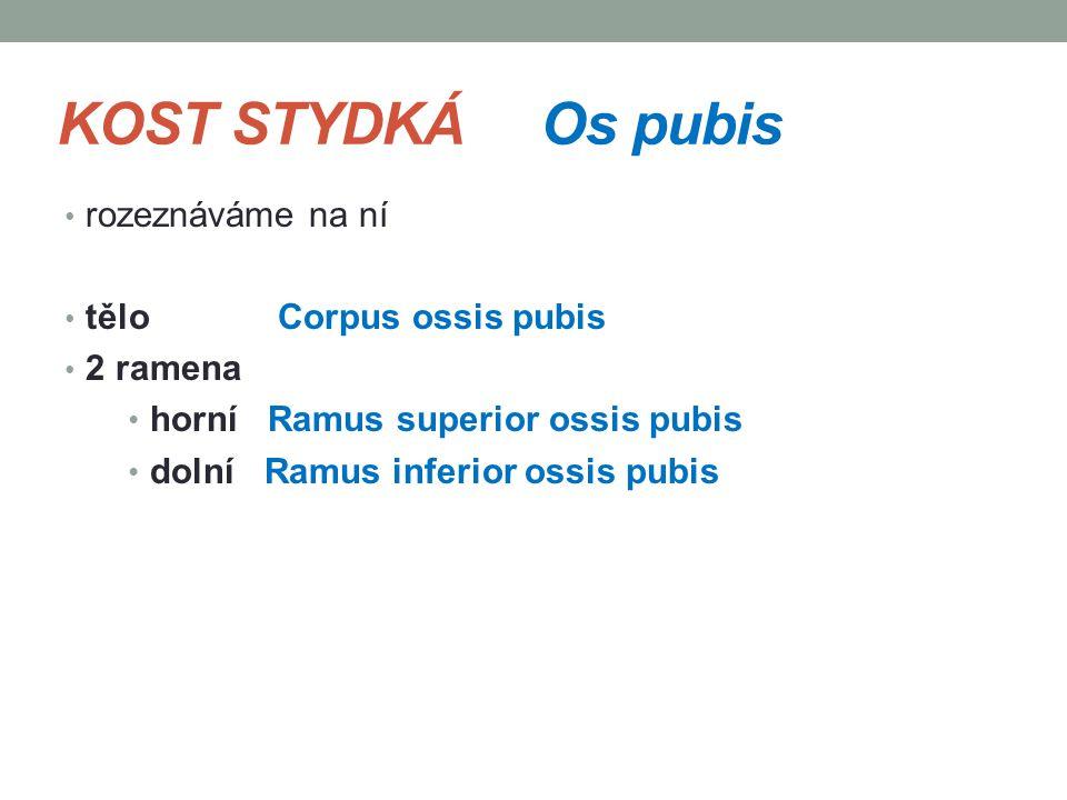 KOST STYDKÁ Os pubis rozeznáváme na ní tělo Corpus ossis pubis 2 ramena horní Ramus superior ossis pubis dolní Ramus inferior ossis pubis