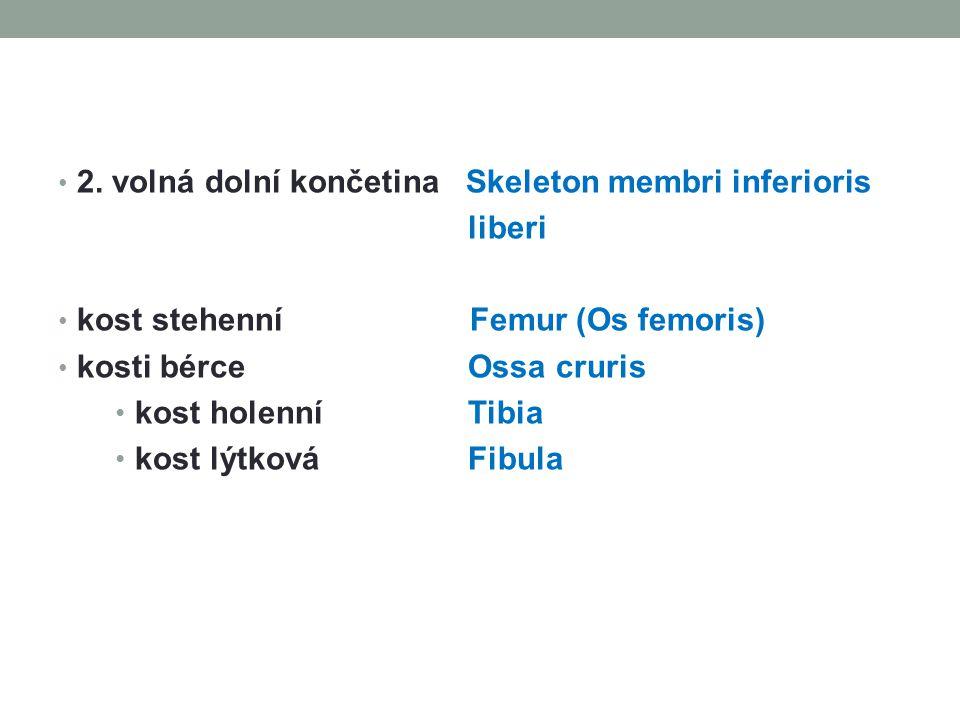 2. volná dolní končetina Skeleton membri inferioris liberi kost stehenní Femur (Os femoris) kosti bérce Ossa cruris kost holenní Tibia kost lýtková Fi
