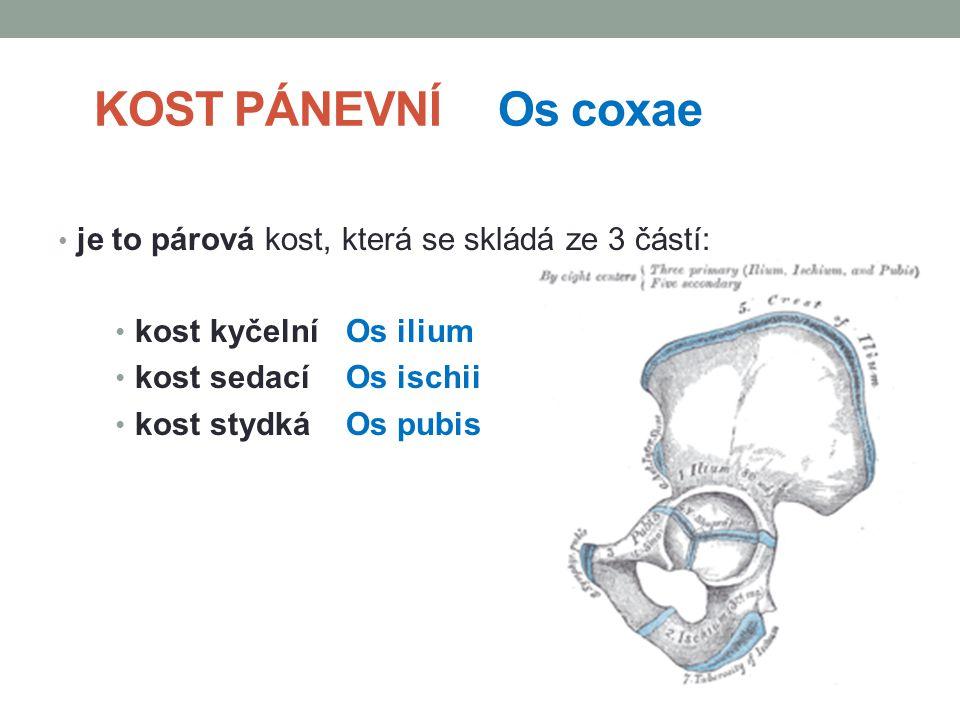 KOST PÁNEVNÍ Os coxae je to párová kost, která se skládá ze 3 částí: kost kyčelní Os ilium kost sedací Os ischii kost stydká Os pubis