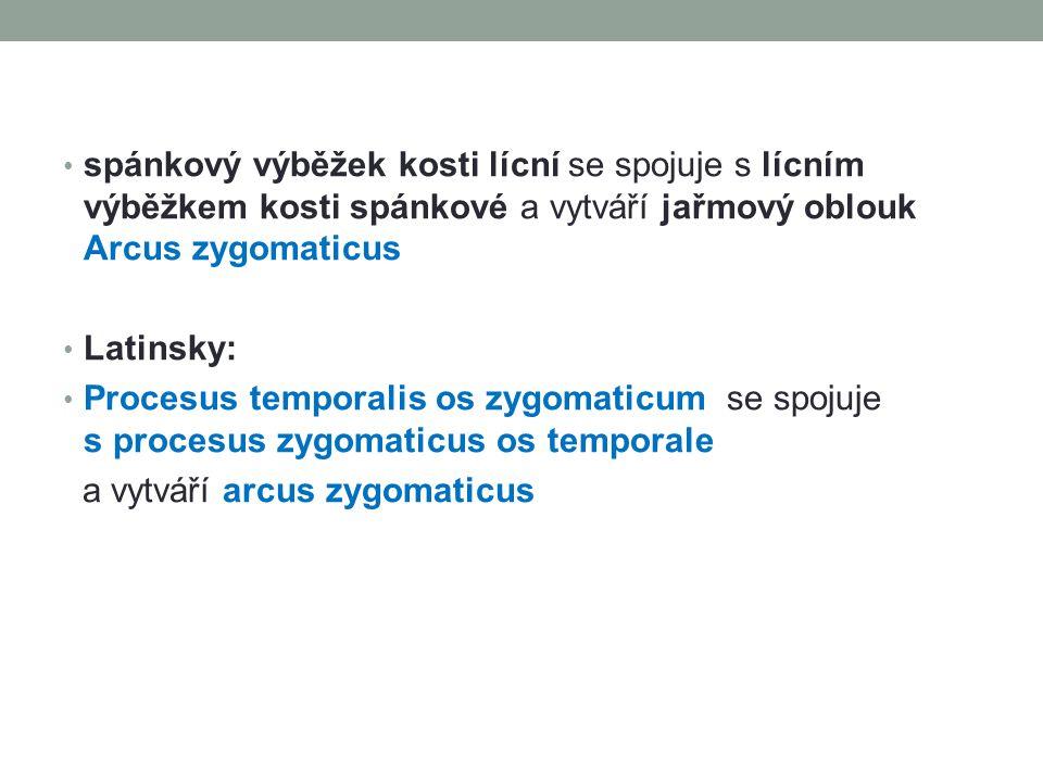 spánkový výběžek kosti lícní se spojuje s lícním výběžkem kosti spánkové a vytváří jařmový oblouk Arcus zygomaticus Latinsky: Procesus temporalis os z