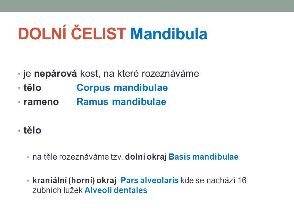 DOLNÍ ČELIST Mandibula je nepárová kost, na které rozeznáváme tělo Corpus mandibulae rameno Ramus mandibulae tělo na těle rozeznáváme tzv. dolní okraj