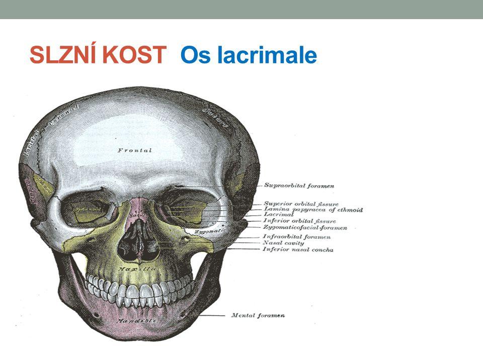 NOSNÍ KŮSTKY Ossa nasalia drobné párové kůstky, které jsou podkladem pro kořen nosu