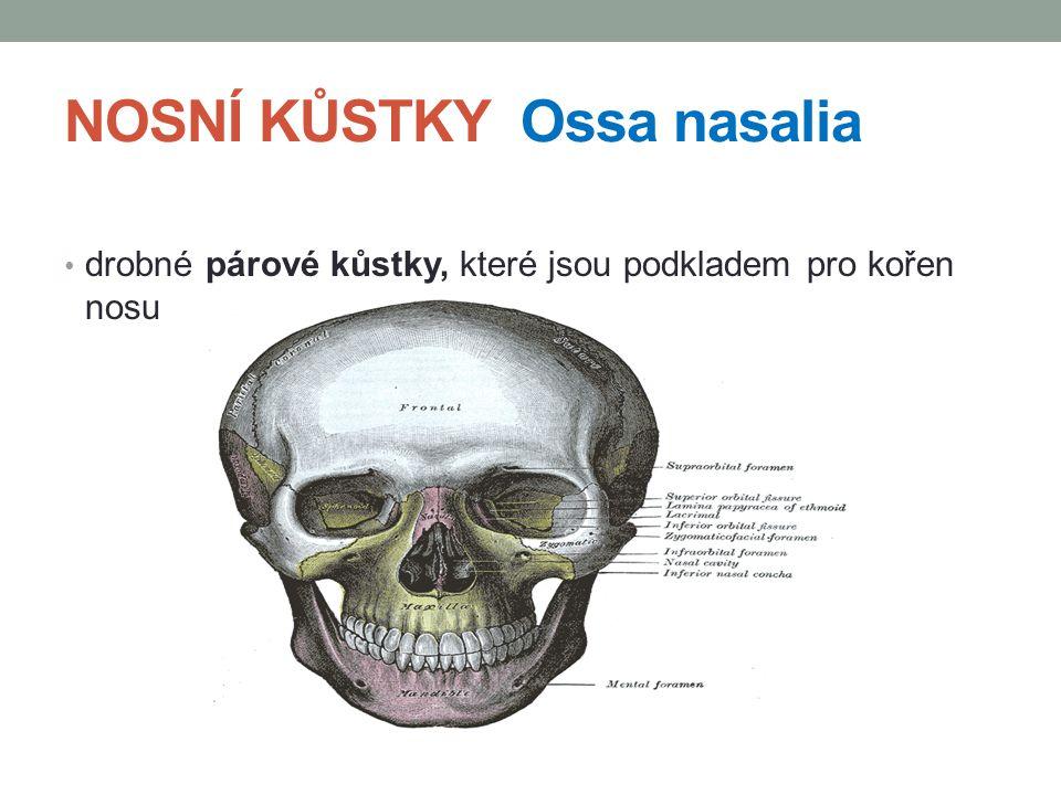PATROVÁ KOST Os palatinum je to párová kost uložená v části dutiny ústní rozeznáváme na ní: 2 ploténky horizontální Lamina horizontalis dotváří část tvrdého patra mediálně vybíhá v hřeben Crista nasalis, který je ukončen výběžkem zadní nosní trn Spina nasalis posterior laterálně vybíhá tato ploténka v silný výběžek Procesus pyramidalis
