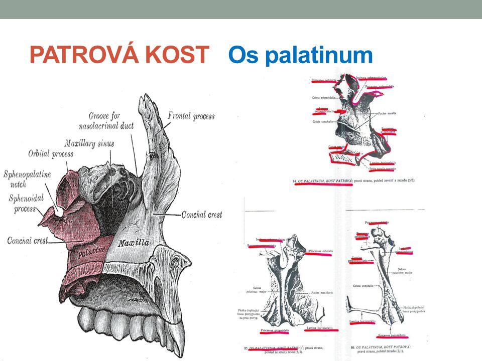 KOST RADLIČNÁ Vomer je nepárová kost kostěná destička kosodelníkového tvaru tvoří zadní část nosní přepážky její horní okraj je zesílený v tzv.