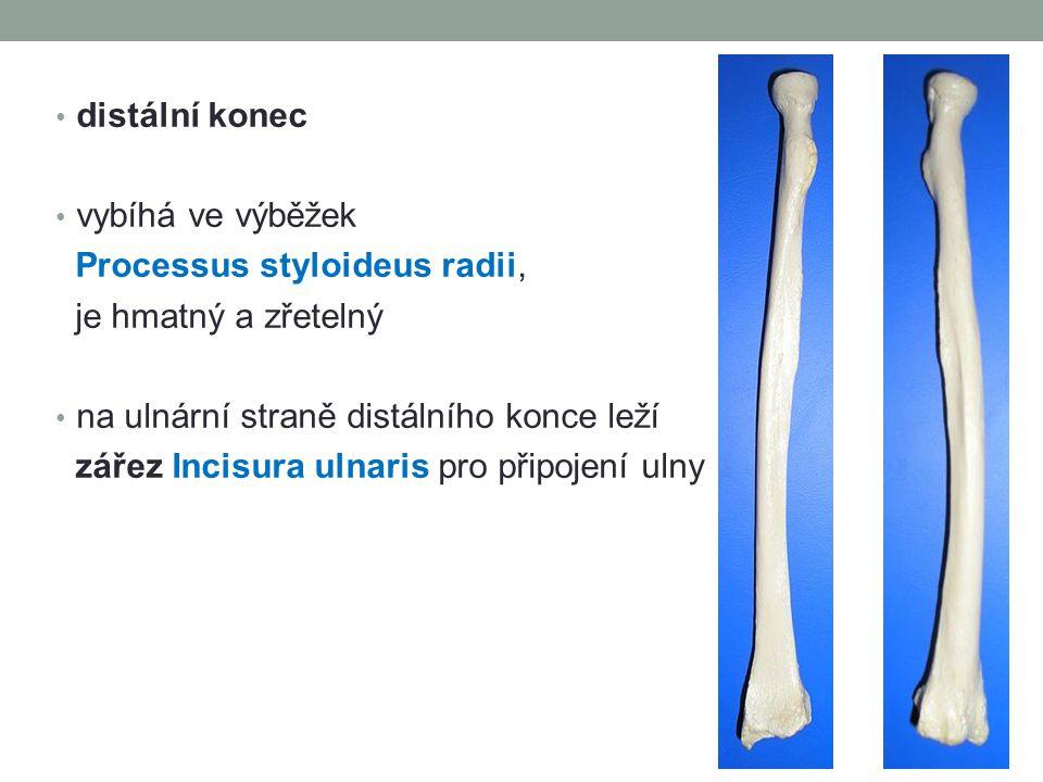 distální konec vybíhá ve výběžek Processus styloideus radii, je hmatný a zřetelný na ulnární straně distálního konce leží zářez Incisura ulnaris pro připojení ulny