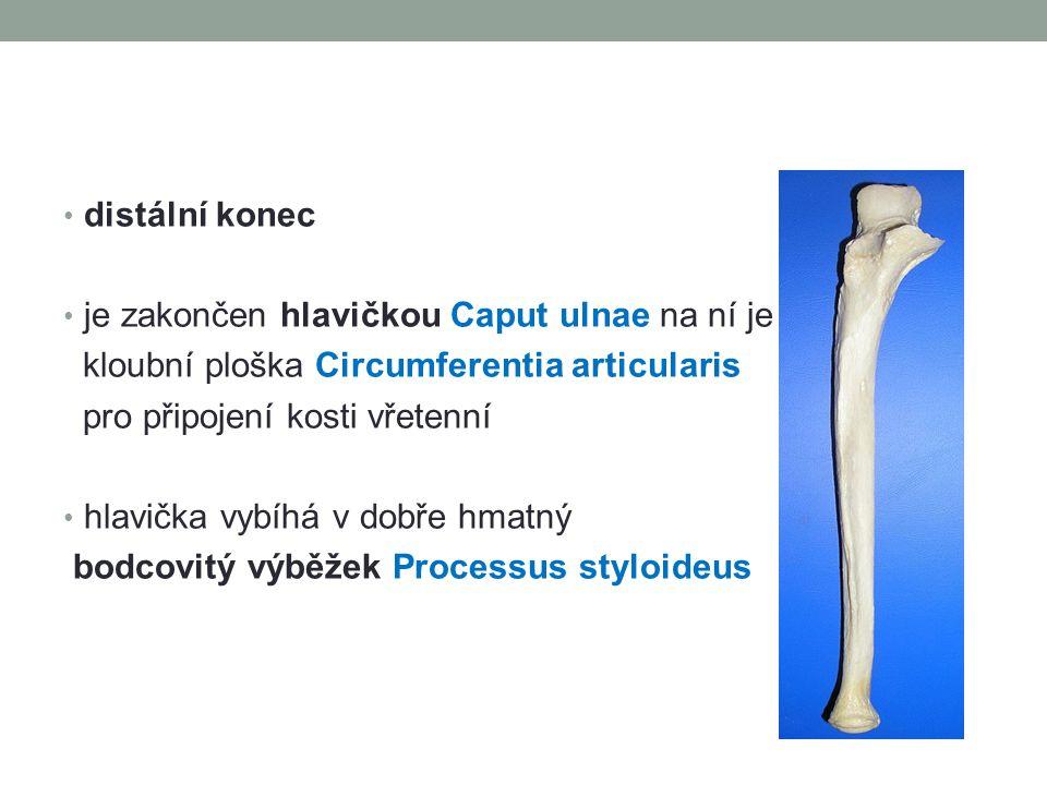 distální konec je zakončen hlavičkou Caput ulnae na ní je kloubní ploška Circumferentia articularis pro připojení kosti vřetenní hlavička vybíhá v dobře hmatný bodcovitý výběžek Processus styloideus