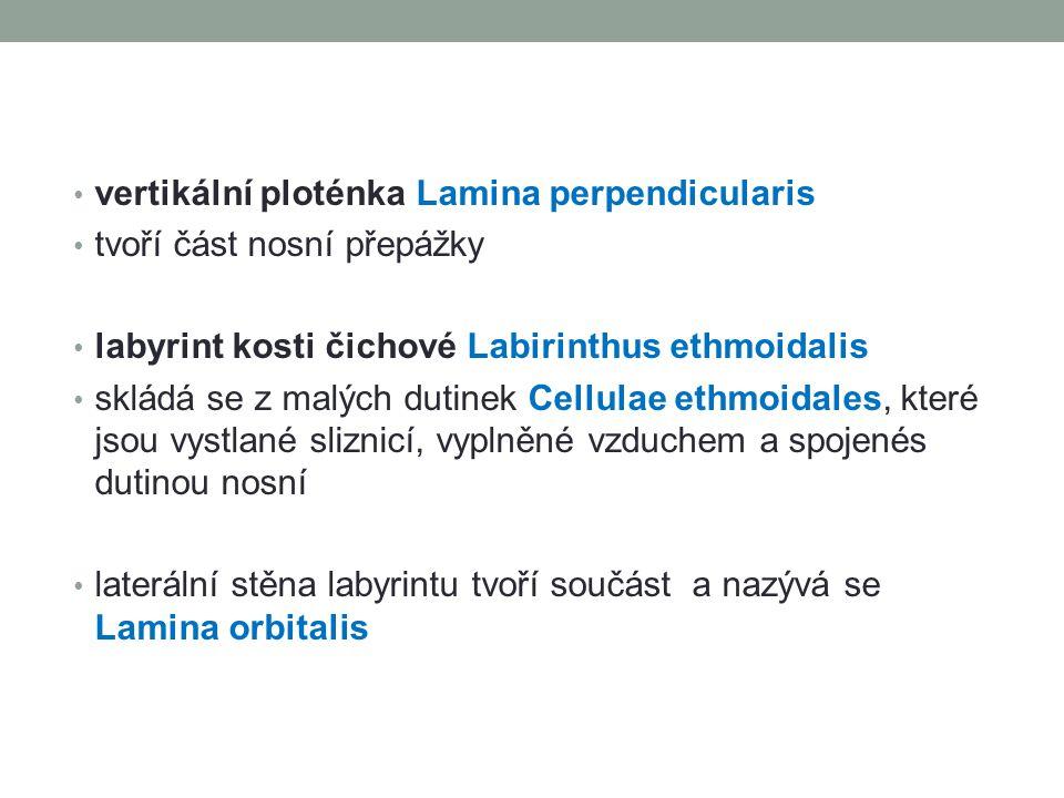 vertikální ploténka Lamina perpendicularis tvoří část nosní přepážky labyrint kosti čichové Labirinthus ethmoidalis skládá se z malých dutinek Cellula