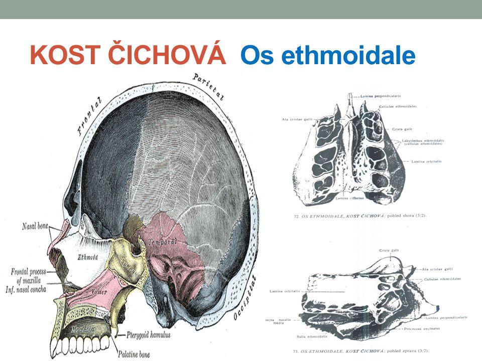 KOST ČICHOVÁ Os ethmoidale