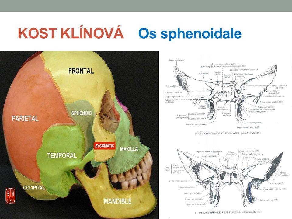 KOST KLÍNOVÁ Os sphenoidale