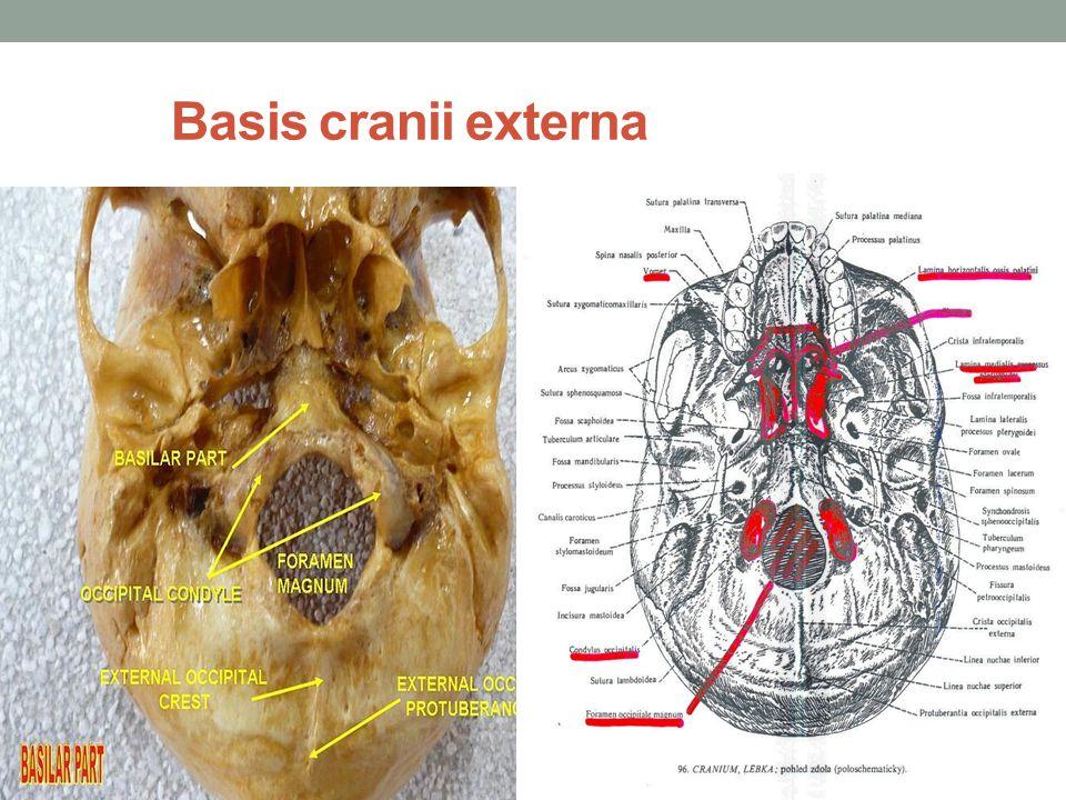 Basis cranii interna vidíme na ní tři prohlubně přední jáma lebeční Fossa cranii anterior tvoří ji: k.
