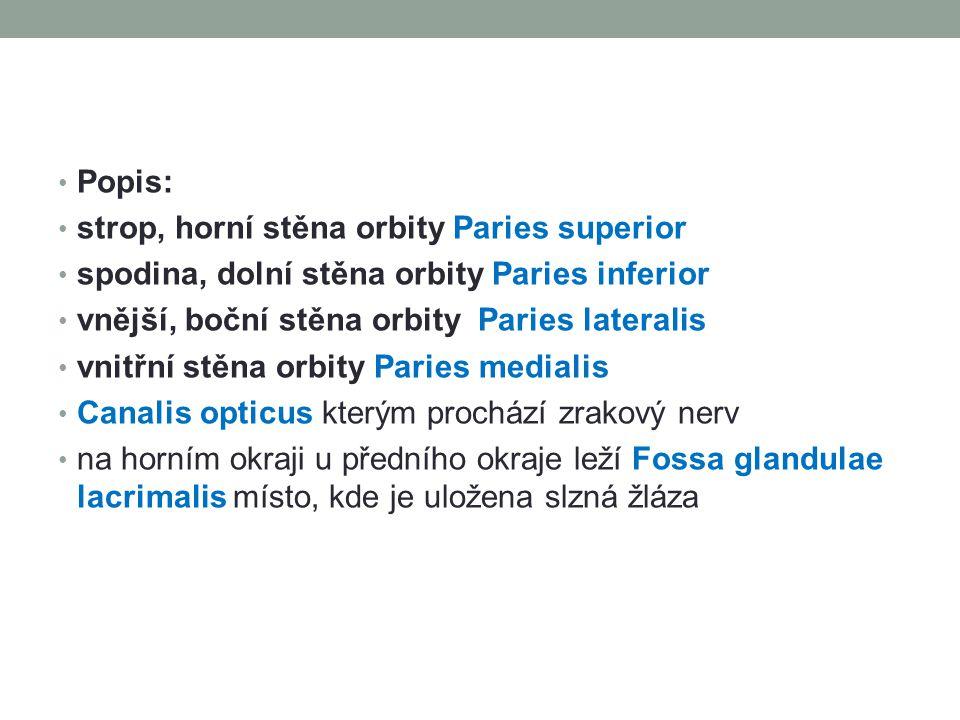 Popis: strop, horní stěna orbity Paries superior spodina, dolní stěna orbity Paries inferior vnější, boční stěna orbity Paries lateralis vnitřní stěna