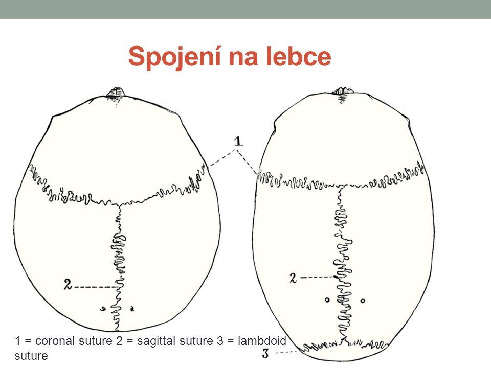 Spojení na lebce 1 = coronal suture 2 = sagittal suture 3 = lambdoid suture