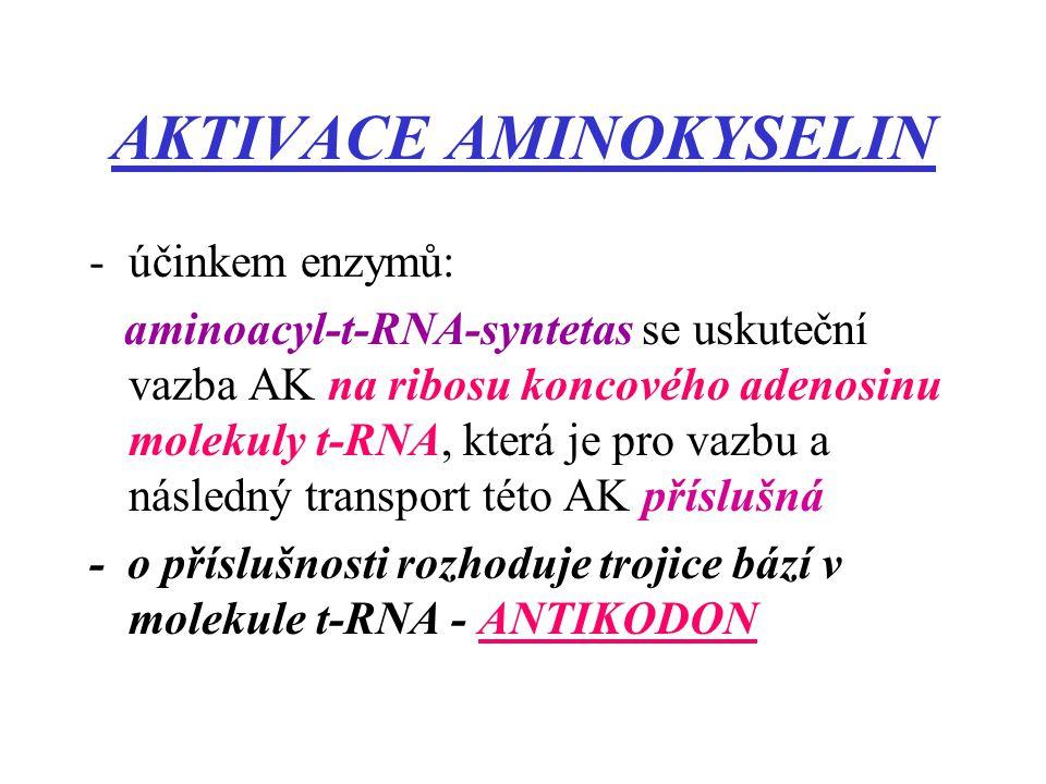 AKTIVACE AMINOKYSELIN -účinkem enzymů: aminoacyl-t-RNA-syntetas se uskuteční vazba AK na ribosu koncového adenosinu molekuly t-RNA, která je pro vazbu