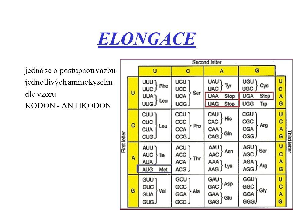 ELONGACE jedná se o postupnou vazbu jednotlivých aminokyselin dle vzoru KODON - ANTIKODON