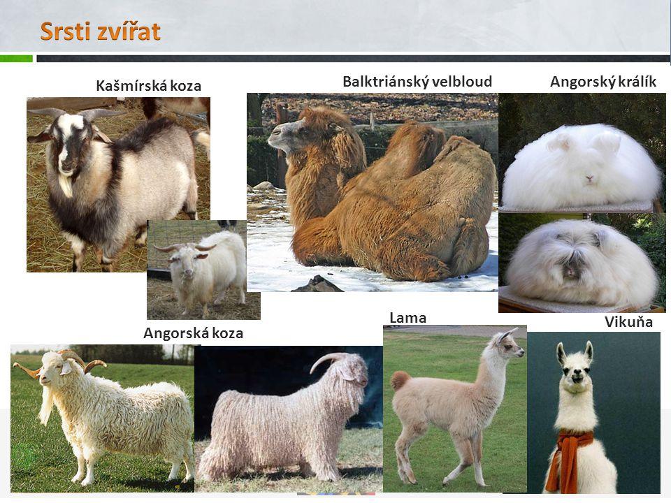Angorská koza Kašmírská koza Balktriánský velbloudAngorský králík Lama Vikuňa